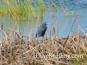 Little blue heron barns marsh preserve florida