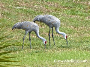 Sandhill Cranes Harns Marsh preserve florida