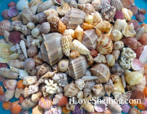Thankful for shelling in Southwest Florida