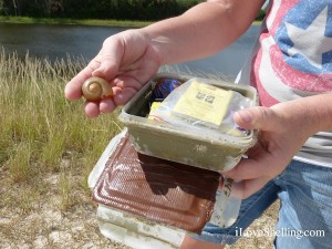 apple snail in a geocache fort myers florida