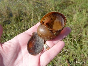 apple snail shell  Pomacea insularum operculum