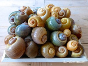 apple snails shells lee county florida