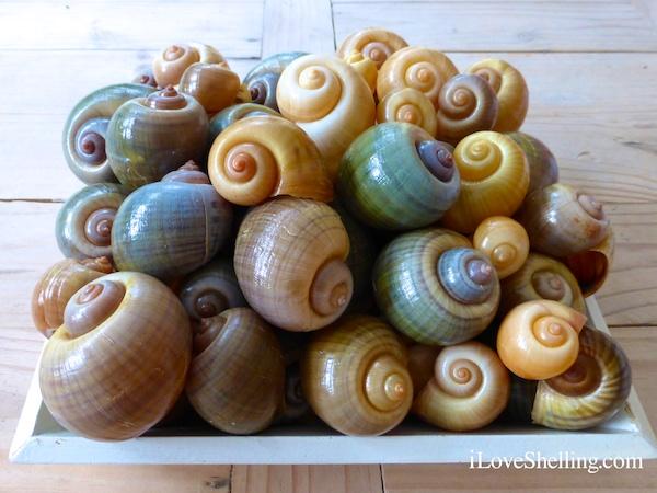 Filling The Apple Snail Cart At Harns Marsh Preserve