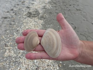 brown surf clam