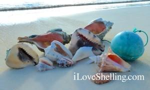 caribbean shells cat island bahamas
