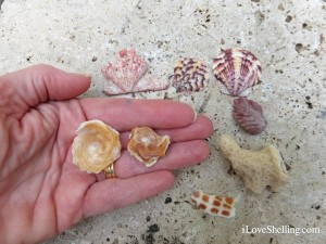 carrier shells lions paw junonia piece