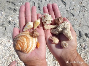 collection of captiva shells and coral