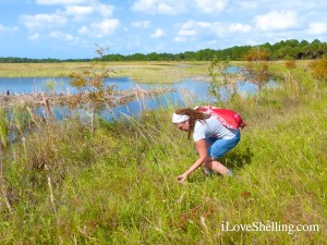 collecting apple snail shells florida