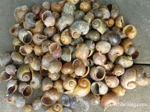 collection of apple snail shells fort myers florida