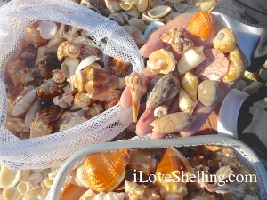 donnas shells captiva sanibel shelling