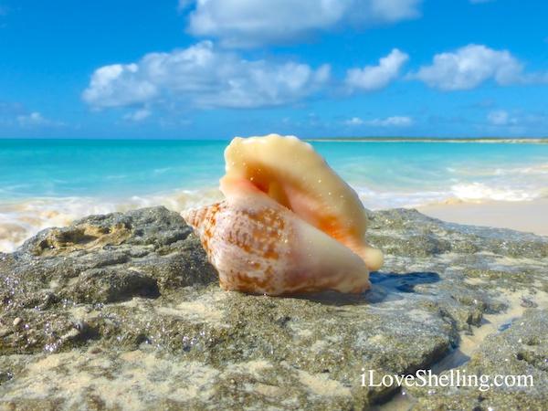 hawk wing conch shell bahama islands