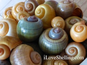 invasive apple snail shell colors