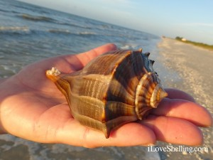 lightning whelk sanibel island sea shell