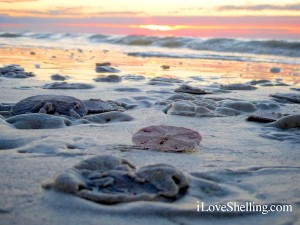 live sand dollars at sunrise sanibel florida