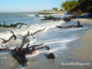 looking for shells near tree roots sanibel