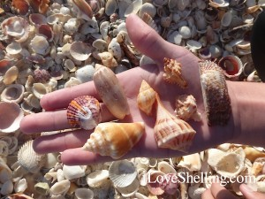 nate seashells captiva florida november