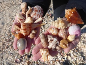 roma variety of shells captiva florida
