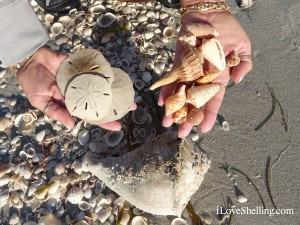 sand dollars sea shells from sanibel florida wendy
