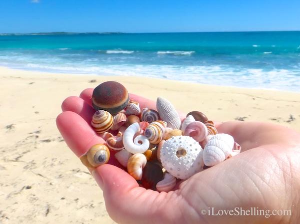 sea beans seashells cat island bahamas beach combing
