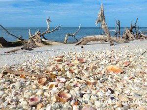 seashells litter the beach on cayo costa