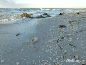 seashells strewn on the beach sanibel florida