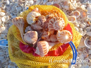 shells of captiva sanibel florida