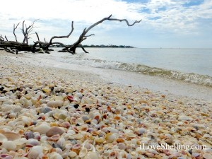 shells pile on the beach of cayo costa