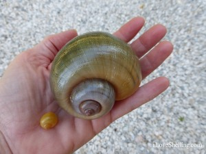 small big Apple snail shell Pomacea insularum