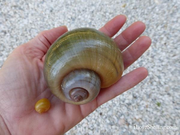 Apple Snail i Love Shelling