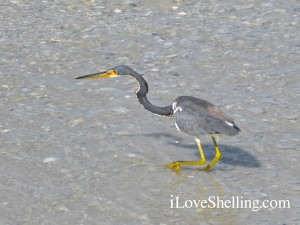 tricolored Heron south florida gulf coast