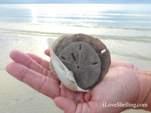 angel wings sand dollars sanibel florida
