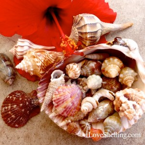 christmas hibiscus and seashells