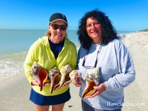 gail alicia find horse conchs whelks sanibel