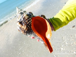 orange horse conch found sanibel florida