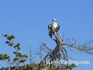 osprey drying wings cayo costa florida