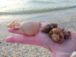 paper fig olive whelk murex sanibel