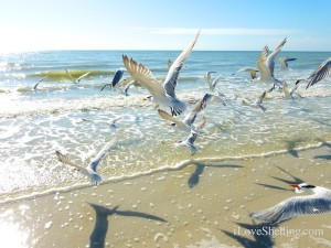 royal terns flock to sanibel