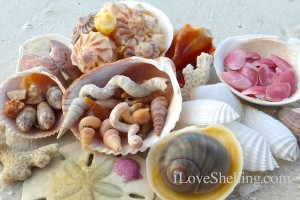 seashells from lovers key bonita beach florida