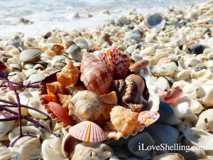 seashells on sanibel after a storm