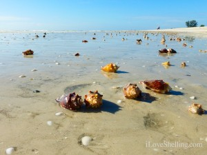 seashells on the beach of sanibel florida