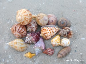 shells found low tide morning sanibel