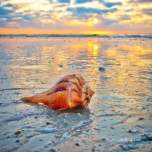 sanibel island sunrise welcomes whelk shell