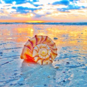 whelkom whelk sunrise sanibel