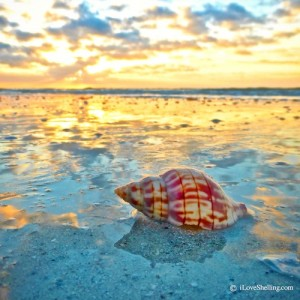 sanibel tulip shell at sunrise