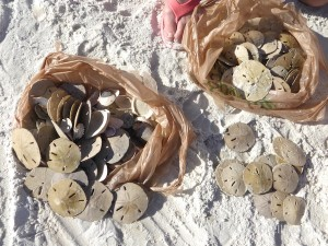 bags of sand dollars fort myers beach florida