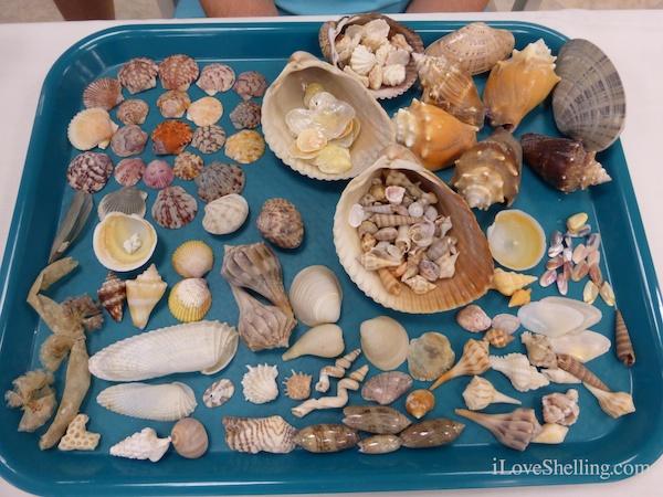 Sanibel Island Hotels: Finding Seashells By The Seashore At Shellabaloo 4
