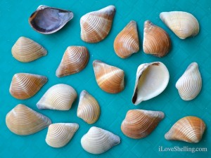 pointed venus clams fort myers beach florida