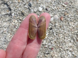 purplish tagelus shell south seas captiva