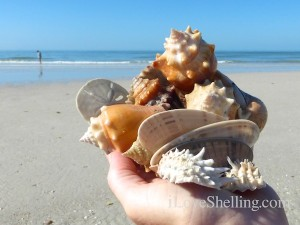 sand dollars conchs sunray venus spiny jewlbox