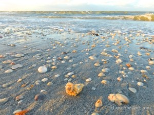 seashells on the beach south seas island resort captiva florida